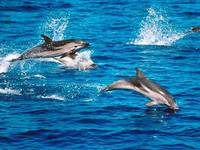 striped dolphins porpoising when porpoising the striped dolphins will ...